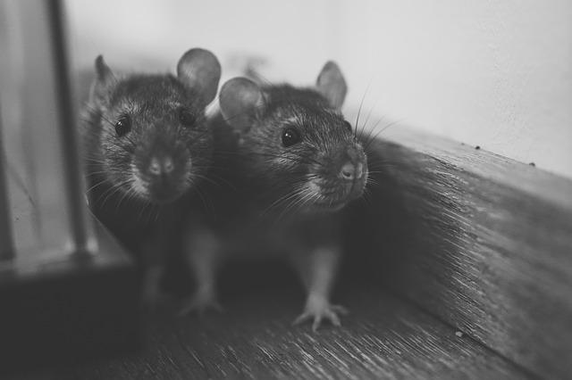 dva potkany pri stene.jpg